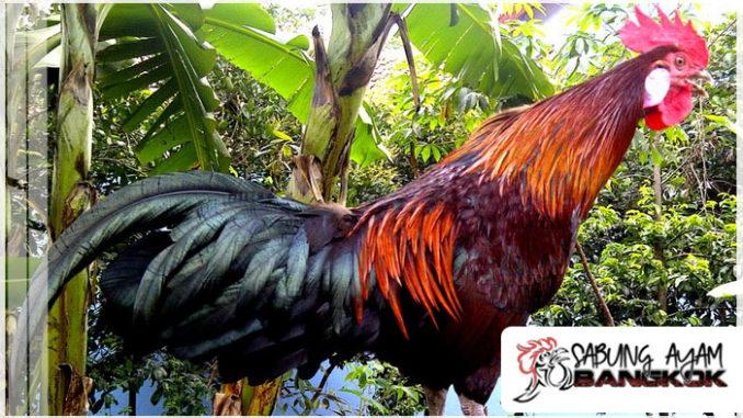 Mengenal Ayam Ketawa Asli Sulawesi Selatan