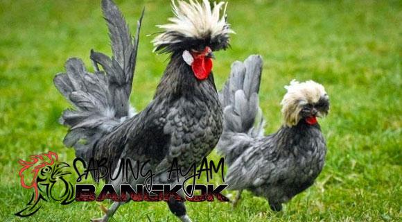 Ayam-Polish-Ayam-Lucu-Unik-dan-Popular-di-Dunia