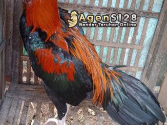Tips Mengetahui Ciri Ciri Umum Ayam Bangkok Klawu China