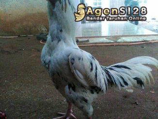 Trik Mengetahui Ciri Khas Ayam Bangkok Klawu Denmark