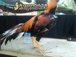 Trik dan Tips Memahami Ciri Ciri Ayam Bangkok Aduan Chad